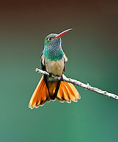 Buff-bellied Hummingbird, South Texas