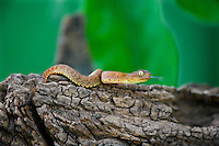 489000020 a hatchling captive variable bush viper atheris squamigera sits coiled on a large tree limb species is native to the democratic republic of the congo