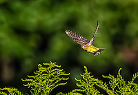 Bobolink in flight against green background