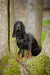 Black and Tan Coonhound<br /> <br /> <br /> <br /> <br /> Shopping cart has 3 Tabs:<br /> <br /> 1) Rights-Managed downloads for Commercial Use<br /> <br /> 2) Print sizes from wallet to 20x30<br /> <br /> 3) Merchandise items like T-shirts and refrigerator magnets