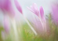 Meadow saffron (Colchicum autumnale), Duna Drava National Park, Mohacs, Hungary