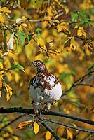 Willow Ptarmigan, autumn, Denali National Park, Alaska