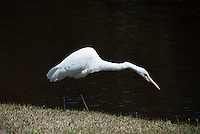 A white heron walks along the grassy banks at Higashi-Gyoen, the East Gardens of the Imperial Palace