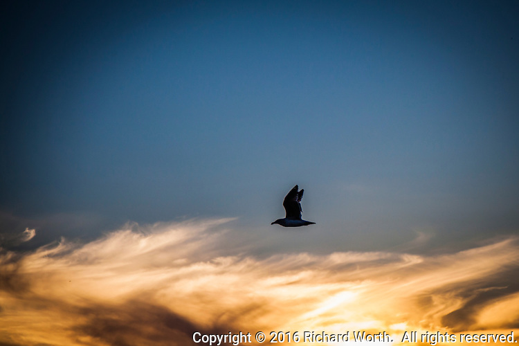 A gull flies above flaming clouds fired by the setting sun.