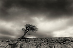 Lone tree on Limestone pavement, Yorkshire Dales National Park, UK
