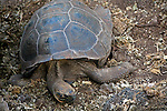South America, Ecuador, Galapagos Islands. A Galapagos Tortoise at the Charles Darwin Research Foundation on Santa Cruz Island.