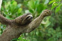 Brown-throated Three-toed Sloth (Bradypus variegatus), Amacayacu National Park, Colombia.