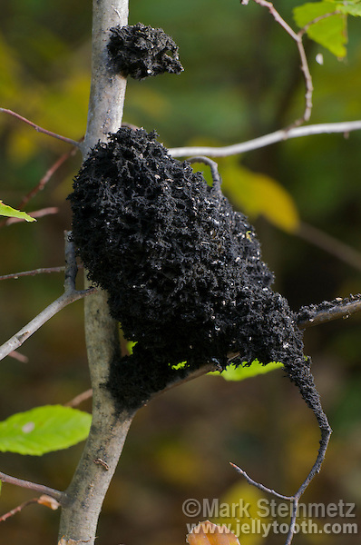 Black spongy mass of a sooty mold (Scorias spongiosa) on a young beech tree (Fagus grandifolia). Sooty molds are saprophytic fungi that get nourishment specifically from the honeydew-like secretions of aphids and other insects which suck sap from their host plants. In this case, the Scorias spongiosa sooty mold   feeds exclusively on the honeydew excrement from Beech Blight Aphids (Grylloprociphilus imbricator), a species of woolly aphids. Due to the colonial nature of the beech aphid  compared to most other aphids, this sooty mold can grow quite large--this specimen is the size of a human fist. Mohican State Forest, Ohio, USA.