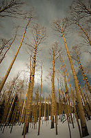 Winter Aspens - Arizona<br />