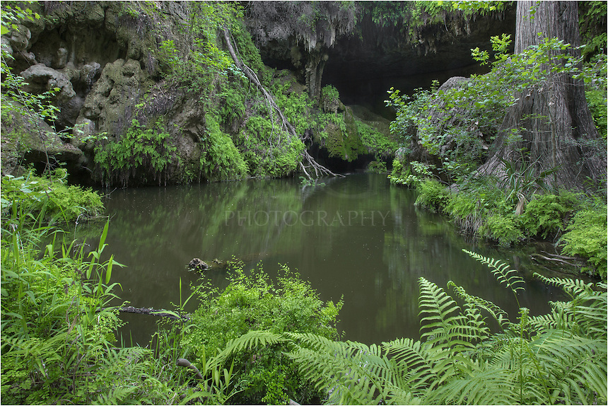 Hidden in the Texas Hill Country, Westcave preserve offers visitors a chance to witness rare plans and 400 year old cypress trees, as well as an overgrowth of green ferns and other plants. Here, at the edge of the grotto, you can enjoy the emerald pool, and you can see the cave behind the pool.