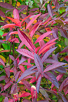 Itea virginica 'Henry's Garnet' in autumn fall color leaves foliage