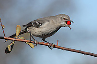 Mockingbird in mid-December with red berry. Central Texas.