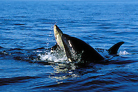 ML182  Orca or Killer whales playing with salmon they have caught--kind of like a cat playing with a mouse-- before they eat it.