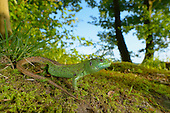 Sand Lizard male (Lacerta agilis), Switzerland