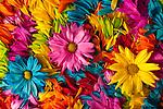 Multicolored daisy petals close-up