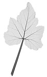 X-ray image of a yellow squash leaf (black on white) by Jim Wehtje, specialist in x-ray art and design images.