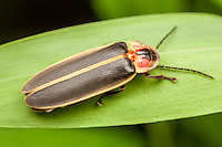 A male Big Dipper Firefly (Photinus pyralis) perches on a leaf.