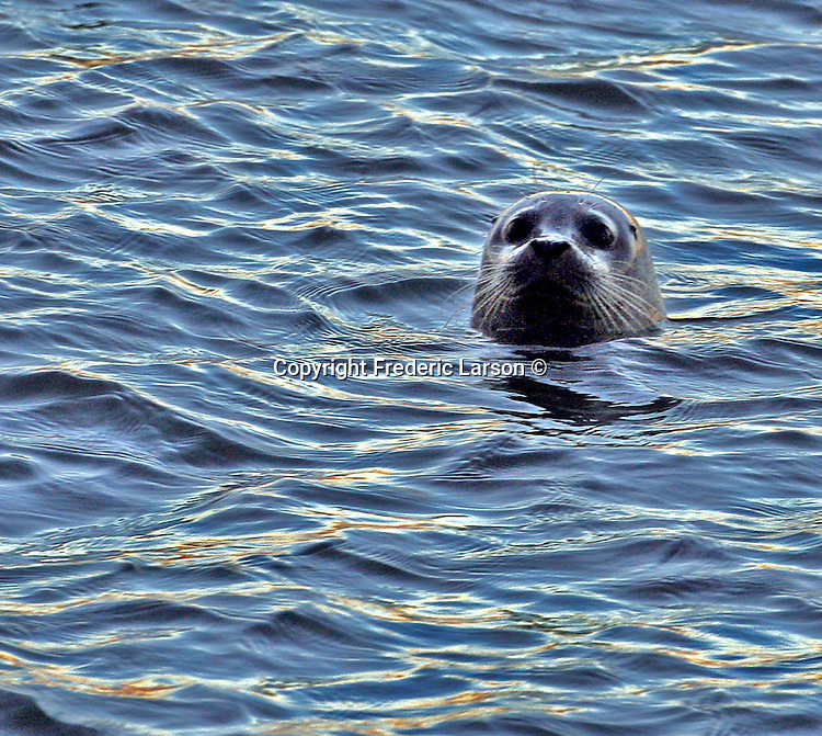 A sea lion pokes his head out of San Francisco Bay.