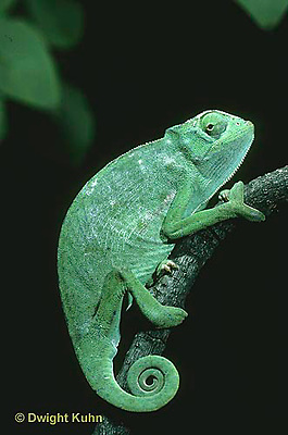 CH23-049z  African Chameleon - curled tail, note grip of front foot - Chameleo senegalensis