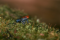 Red-backed Poison Frog (Dendrobates reticulatus) on moss, Peru