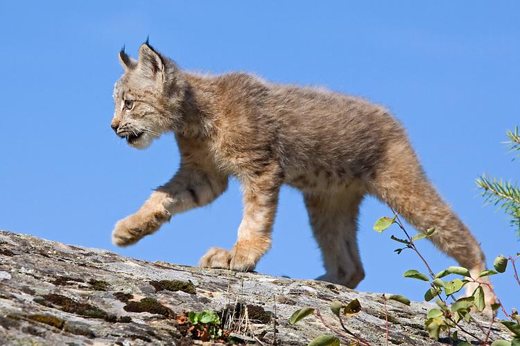 Canada Lynx kitten walking along the top of a rocky ledge - CA