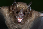 Short Tailed Fruit Bat, Carollia perspicillata, Iquitos, Northern Peru, nocturnal, jungle, portrait showing nose and teeth, fangs, frightening, . .South America....