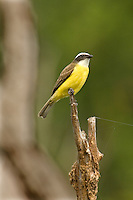 530170004 a wild adult social flycatcher myiozetetes similis perches on a dead tree snag on a ranch in tamaulipas state mexico