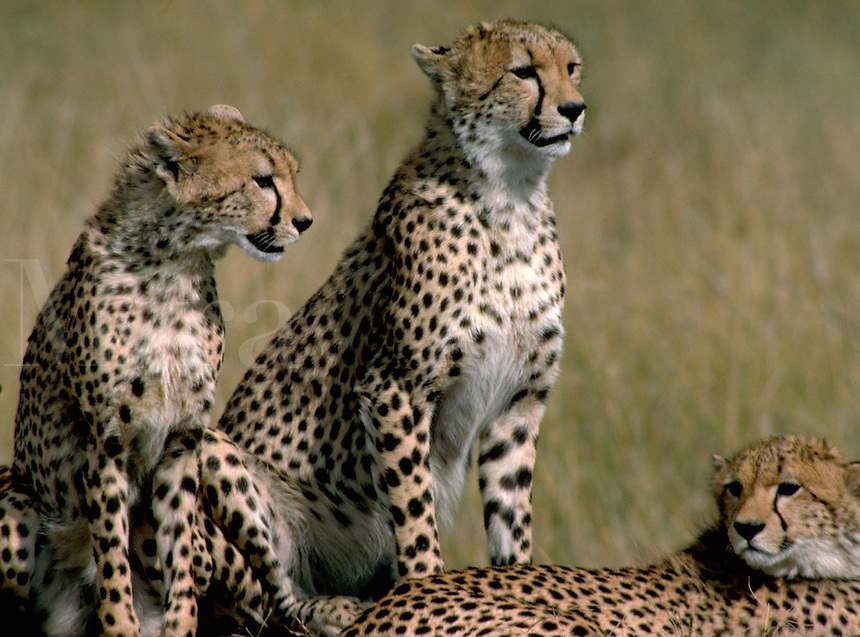 African, wild animal. A group of cheetahs sun themselves on the Masai Mara plain in Kenya. This beautiful mammal is reported to achieve running speeds of up to 70 miles an hour when pursuing prey and is considered to be the fastest land animal in th e wor