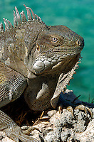 20 August 2004: The Green Iguana (Iguana iguana) is found throughout the island of Bonaire. Taken along the coral coastline at Captain Don's Habitat on the island of Bonaire, in the Netherland Antilles. ..Mandatory Photo Credit: Ed Wolfstein Photo