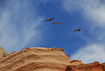 Brown pelicans and sandstone cliffs