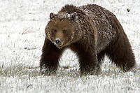 This Grizzly bear (Ursus arctos horribilis) finds herself in the midst of one of Yellowstone's famous late spring snow storms. She seems a little grumpy about it and is perhaps thinking she should go back to bed and wait it out!