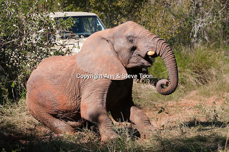 Wild elephant, Loxodonta africana, waking from anaesthetic after vasectomy.   Private game reserve in Limpopo, South Africa