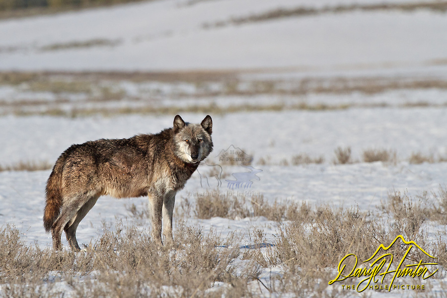Alpha Wolf, Canyon Pack, 712, Hayden Valley, Yellowstone National Park