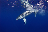 Playful and energetic, a baby Humpback Whale, Megaptera novaeangliae, frolics at the surface.  Tonga, South Pacific Ocean