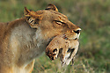 Lioness (Panthera leo) moving her newborn cub in Okavango, Botswana