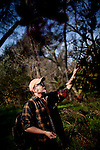 Hank Shaw forages for Christmas berries in Orangevale, California, February 22, 2013.