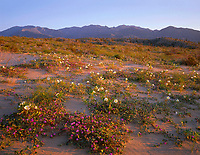 CADAB 106 -   Desert sand verbena and dune evening primrose blooming on dunes at sunrise with the Santa Rosa Mountains in the distance, Anza-Borrego Desert State Park, California, USA