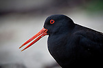 A Variable Oystercatcher patrols its nesting territory at Hobbs Beach on Tiritiri Matangi Islands western coast..Larger than the more common South Island Pied Oystercatcher or SIPO, Variable Oystercatchers tend to be seen in pairs rather than flocks along the New Zealand coastline where they feed on shellfish, crabs and marine worms.