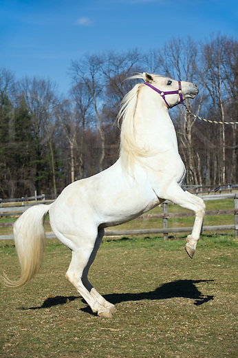 White horse rearing up, an Arabian stallion showing his natural power, form, and poise while performing a trick, minute amount of motion blur.