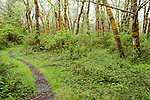 Prairie Creek Redwoods State Park, Orick, California; a walking trail through the trees near the mouth of Home Creek and Fern Canyon