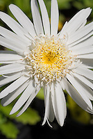 Leucanthemum Christine Hagemann, white Shasta Daisy with double Center flower