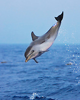 pantropical spotted dolphin calf jumping, Stenella attenuata, Kona Coast, Big Island, Hawaii, Pacific Ocean