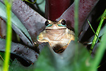 Tree frog, Central America