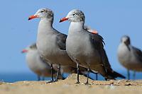 Heermann's gull (Sub adult) at La Jolla Beach California
