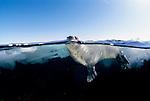 Juvenile Harp Seal in water, split level.Pagophilus groenlandicus