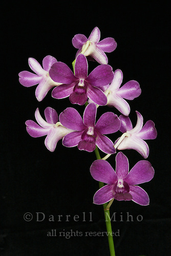 purple and white dendrobium orchid on stem on black background.<br /> Dendrobium Genting Blue<br /> <br /> &copy; Darrell Miho