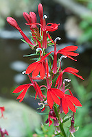 Cardinal flower Lobelia cardinalis in red flowers