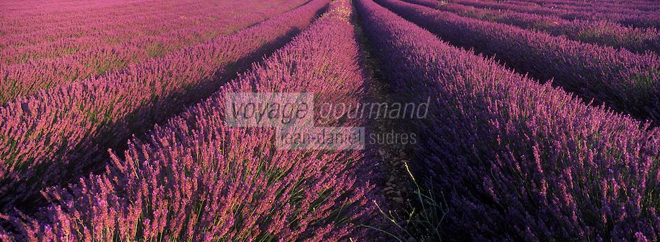 Europe/France/Rhône-Alpes/26/Drôme/Env de Vinsobres: Champ de lavande