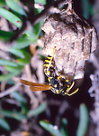 Polistes paper wasp at nest