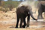 Africa, Namibia, Etosha. Elephant having dust bath at a water hole in Etosha National Park.